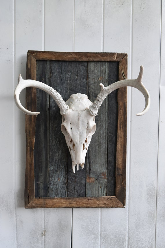 Deer Skull mounted on wood, buck skull, european mount, barn wood, mancave decor, vinatge aqua wood with deer mount