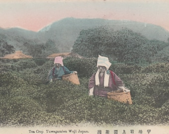 Women Picking Tea Crop YuwagamienWuji Japan,Unused Postcard C 1910