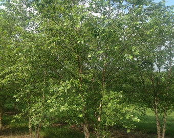 """River Birch, 3 Plants, 4"""" Potted Plant, 24"""" - 36"""", Landscaping Tree, Multi Trunk Tree, Super Roots, Fast Growing, Betula Nigra, Birch Tree"""