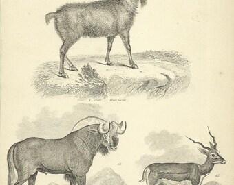 Ibex Goat Pigmy Antelope Common Antelope Mammalia 1880 antique Steel Engraving Print by William Mackenzie Wall Art Home Decor