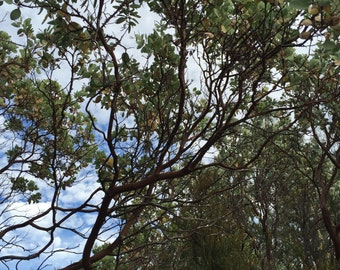 Manzanita branches and/or leaves