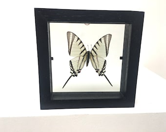 Lovely Protographium Agesilaus  Butterfly/Insect/Taxidermy/Lepidoptera