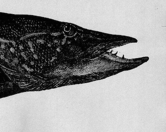 Pike - Etching and Aquatint by D.R. Wakefield