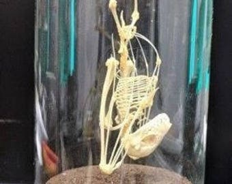 Taxidermy real bat skeleton  in an old glass dome, Leschenault's rousette (Rousettus leschenaultii) is a species of fruit bat