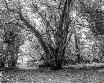 A single Tree In the woods Photo / Poster / Canvas Black and White