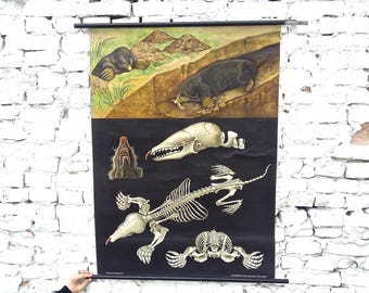 """Vintage German school pull down chart ... wall map ... """"The Mole"""" ... paper ... canvas ... 1962"""
