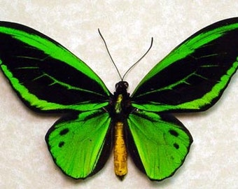 Dad's & Grad's Gift Real Framed Vivid Emerald Green Birdwing Butterfly 584