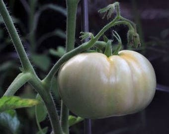 Heirloom White Tomato 'Great White' 10+ Seeds
