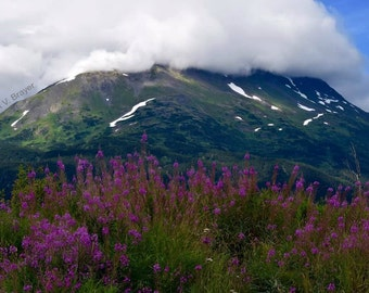 Fireweed and Mountain Photo - Wildflowers, Snow-capped Mountains, Alaskan Nature Photography