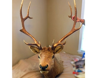 Early 1970s Vintage Montana Bull Elk Shoulder Mount 12 point