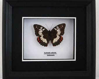 Euthalia adonia Taxidermy Butterfly in Matted Shadow Box Frame - Wall Decoration