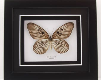 Idea blanchardi (Rice Paper Butterfly) Taxidermy Butterfly in Matted Shadow Box Frame - Wall Decoration