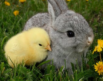 Easter / Easter Bunny and Chick 8 x 10 / 8x10 GLOSSY Photo Picture