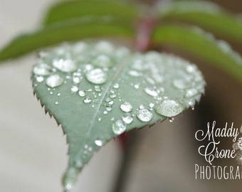 Dew Drops Photograph, Picture with Mat, 4x6