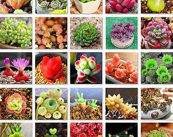 300pcs/lot Mix Lithops Seeds Mix Varieties Succulents Seeds Succulents Bonsai Home Garden Ornament Potted home & garden