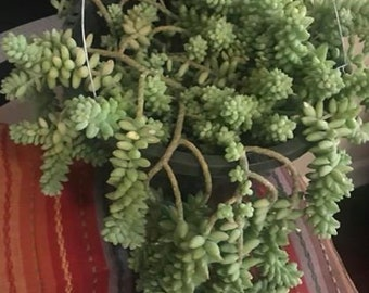 Burro's Tail/Donkey Tail Succulent