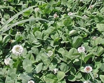 Patriot White Clover Seed