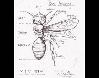 A5 Original Bee sketch. Honey bee anatomical sketch. Apis millifera. Bee drawing. insect drawing. insect art. entomology. animal art.