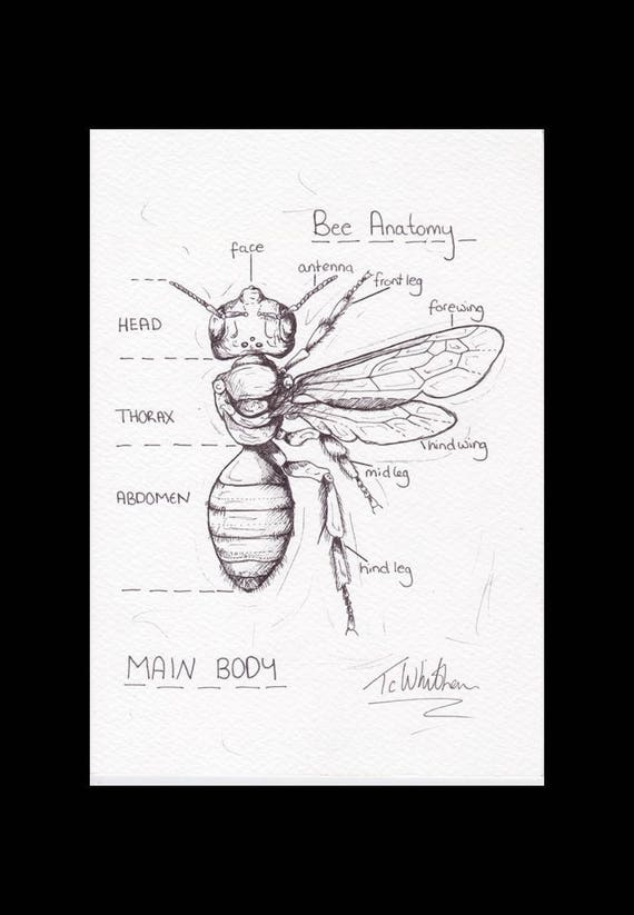 A5 Original Bee sketch. Honey bee anatomical sketch. Apis