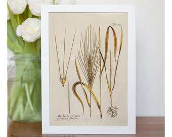 "Vintage illustration of Barley - framed fine art print, botanical art, 8""x10"" ; 11""x14"", FREE SHIPPING - 64"