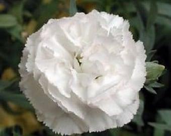 30+ White Grenadin Carnation Dianthus / Perennial Flower Seeds