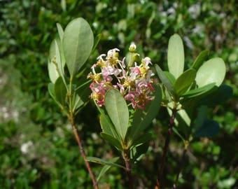 Locustberry   Byrsonima lucida   10 Seeds