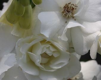 Giclee print Fine art photograph  8 X 10 white roses