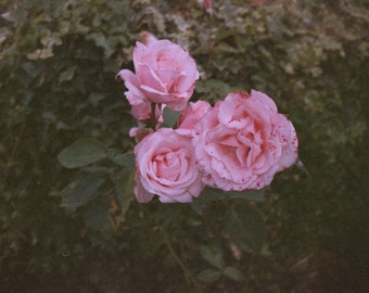 Roses *Last Chance To Buy* - Fine Art Photography Print