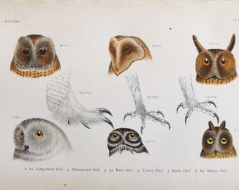 1901 Scarce Antique Chromolithograph of Drawings by  Hermann Schlegel Owls