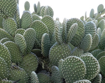 Prickly Pear Cactus Photography, Cactus Print, Arizona Desert Photography, Nature Photography, Desert Print, Rustic Wall Art,Sage Desert Art