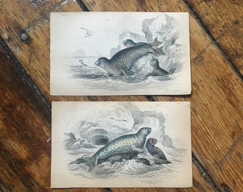 c. 1833 ANTIQUE SEAL PRINTS - original antique sea life prints- Jardine seal prints - marine mammals - set of 2 hand colored engravings