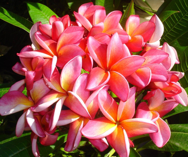 Rooted Plumeria Hawaii Plants, Fragrance Plumeria, Pink Plumeria ...