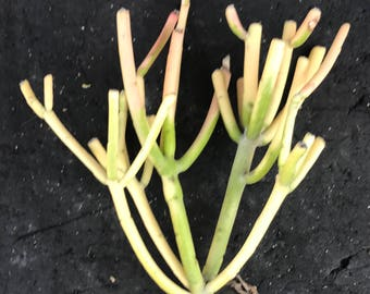 Small Branching  Fire Sticks Succulent