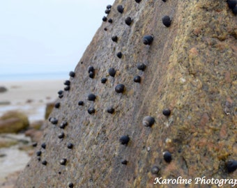 Snails on a Rock (Cape Cod, MA)
