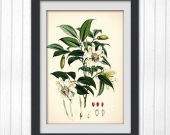 Beautiful Green Leaf Botanical Print, vintage botanical illustration, Vintage Print 95,