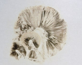 Psathyrella candolleana spore print.