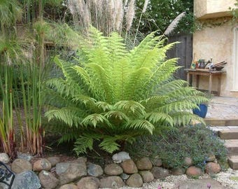 Tasmanian Tree Fern aka Dicksonia antarctica Live Plant Fit 5 Gallon Pot - Mor