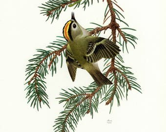 Vintage lithograph of the goldcrest from 1956