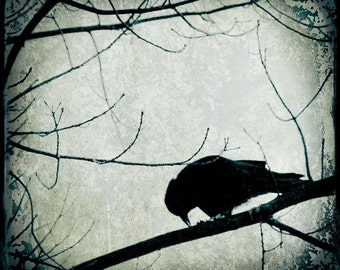 Blue Green Crow Photograph--Black Crow Feeding Variation II TTV Fine Art