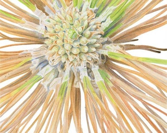 Long Leaf Pine Seedling 5x7 Matted Giclee Print of watercolor painting by Lore Ruttan