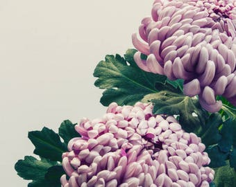 Pair of Chrysanthemum; fine art photography, modern, wall art, floral photography, floral, art, photo, botanical, pink floral by F2images