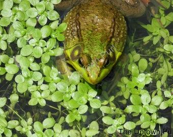 Frog in a Pond Photo Print