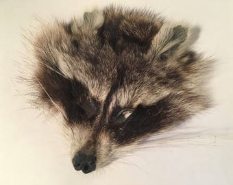 Dry Preserved / Mummified Raccoon Face - Unique Ears