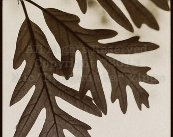 Oak Leaf Art, Autumn Photography, Oak Leaf Wall Art, Quercus, Oak Decor, Brown Art, Leaf Decor, Rustic Leaves, Nature Fine Art 8x8 Print
