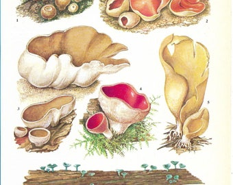 Vintage Fungi Coloured Book Plate - Cup Fungi - Ideal For Framing # 151