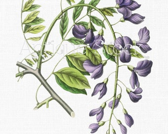 Flower Clipart 'Wisteria' Botanical Illustration Instant Download Image for Invitations, Scrapbook, Prints, Collages, Crafts...