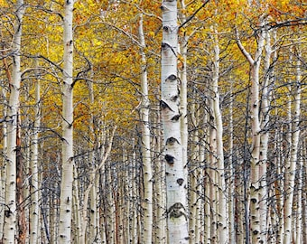 Birch Tree Forest Grove with Autumn Yellow Orange Colors No.0642 - A Fine Art Fall Landscape Photograph