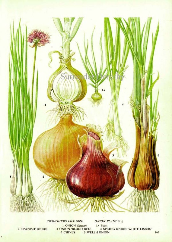 Onion chart vegetable food botanical lithograph illustration like this item ccuart Images