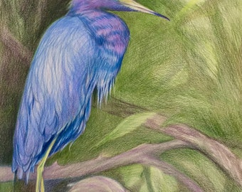Little Blue Heron - 14''x17'' - Original Color Pencil Illustration, Strathmore Paper, Ready to frame, Art Decor
