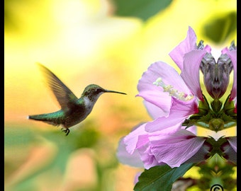 Hummingbird  Photo,Bird Photography,Bird Picture,Photo of Hummingbird,Photograph of Hummingbird, Picture of Hummingbird,Hummingbird Picture